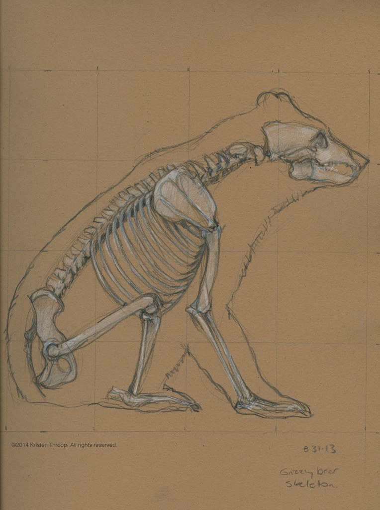 Sketch of grizzly bear skeleton